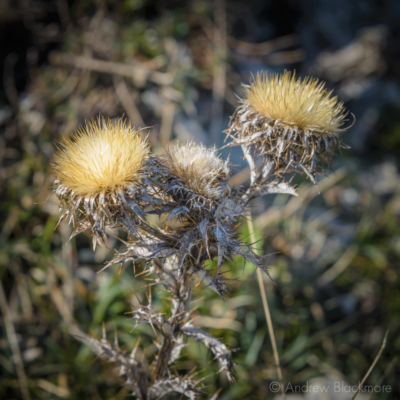 Portland-thistle-seed-heads-on-coast-path-south-of-Church-Ope-Cove-22_03_15-sq