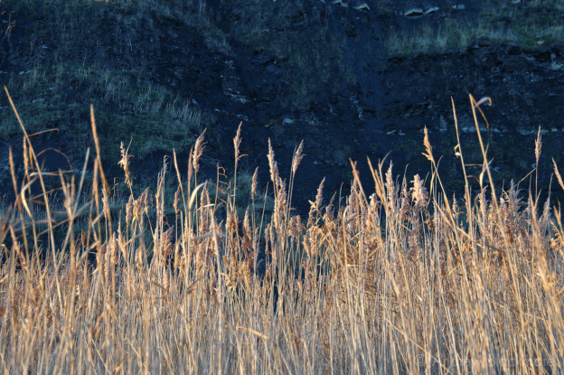 Reeds-and-Blue-Lias-Monmouth-Beach,-Lyme-Bay-25_04_12