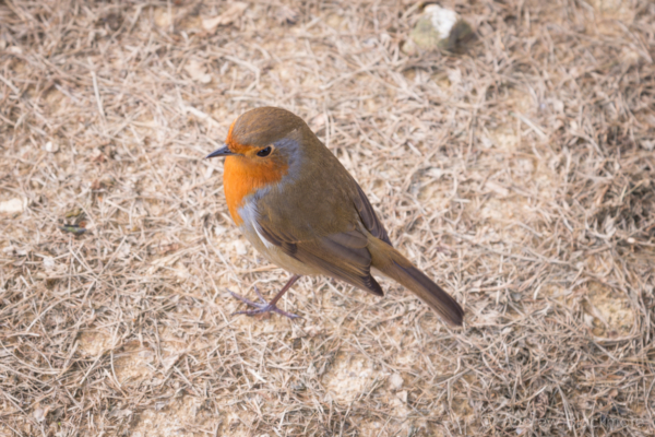 Robin-near-Charmouth-seafront-24_09_14