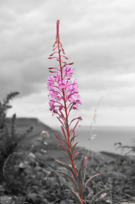 Rosebay-Willowherb-Stonebarrow-10_7_07-duo