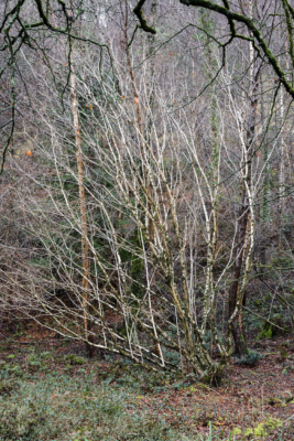 Silver-Birch-sappling-in-The-Spittles,-Lyme-Regis-31_01_16