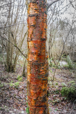 Silver-Birch-trunk-in-The-Spittles,-Lyme-Regis-31_01_16