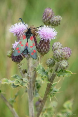 Six-spot-Burnet-|-Zygaena-filipendulae-on-Evans-Cliff Charmouth-01_07_15-1