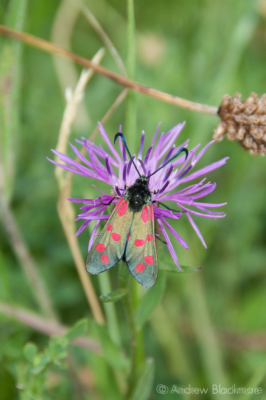 Six-spot-Burnet-The-Spittles-12_7_10-2-(temp)