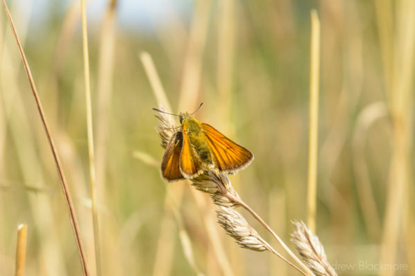 Small-Skipper-|-Thymelicus-sylvestris-(female)-The-Spittles,-Lyme-Regis-30_07_15-4
