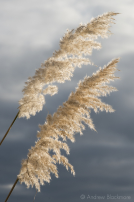 Sunlit-Pampas-Grass-heads-nr.-Monmouth-Beach,-Lyme-Regis-08_11_12-2