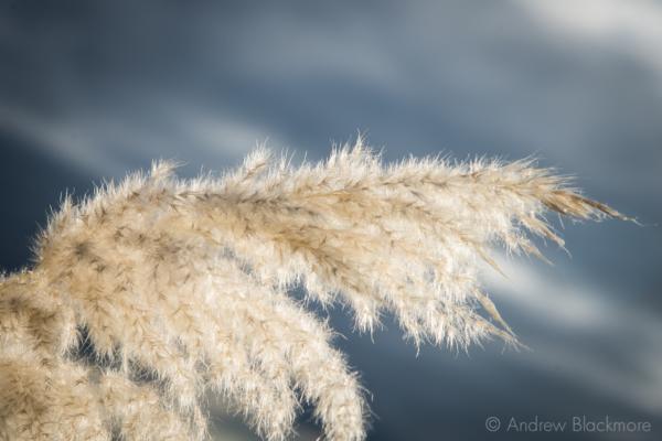 Sunlit-Pampas-Grass-heads-nr.-Monmouth-Beach,-Lyme-Regis-08_11_12-4