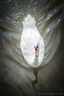 Swan-on-the-River-Char Charmouth-08_09_14-1