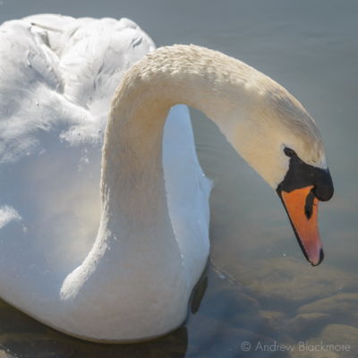 Swan-on-the-River-Char Charmouth-28_04_16-2-sq
