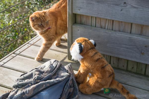Taj-(Barnabys-tiger)-meets-a-cat-The-Alexandra-Hotel,-Lyme-Regis-01_12_12-1