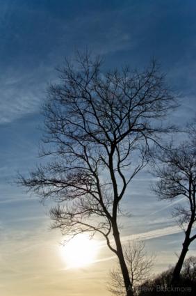 White-Poplar-tree-silhouette-Lister-Gardens,-Lyme-Regis-18_11_08