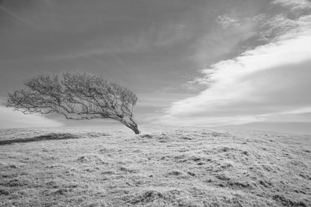 Windswept-tree-nr.-the-SW-Coast-Path-on-Doghouse-Hill-12_04_15-2-b&w