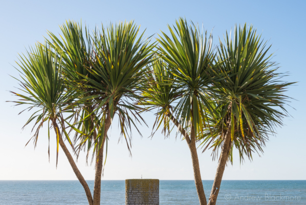 Yucca-trees-and-sea-view-from-Gun-Cliff,-Lyme-Regis-04_10_12