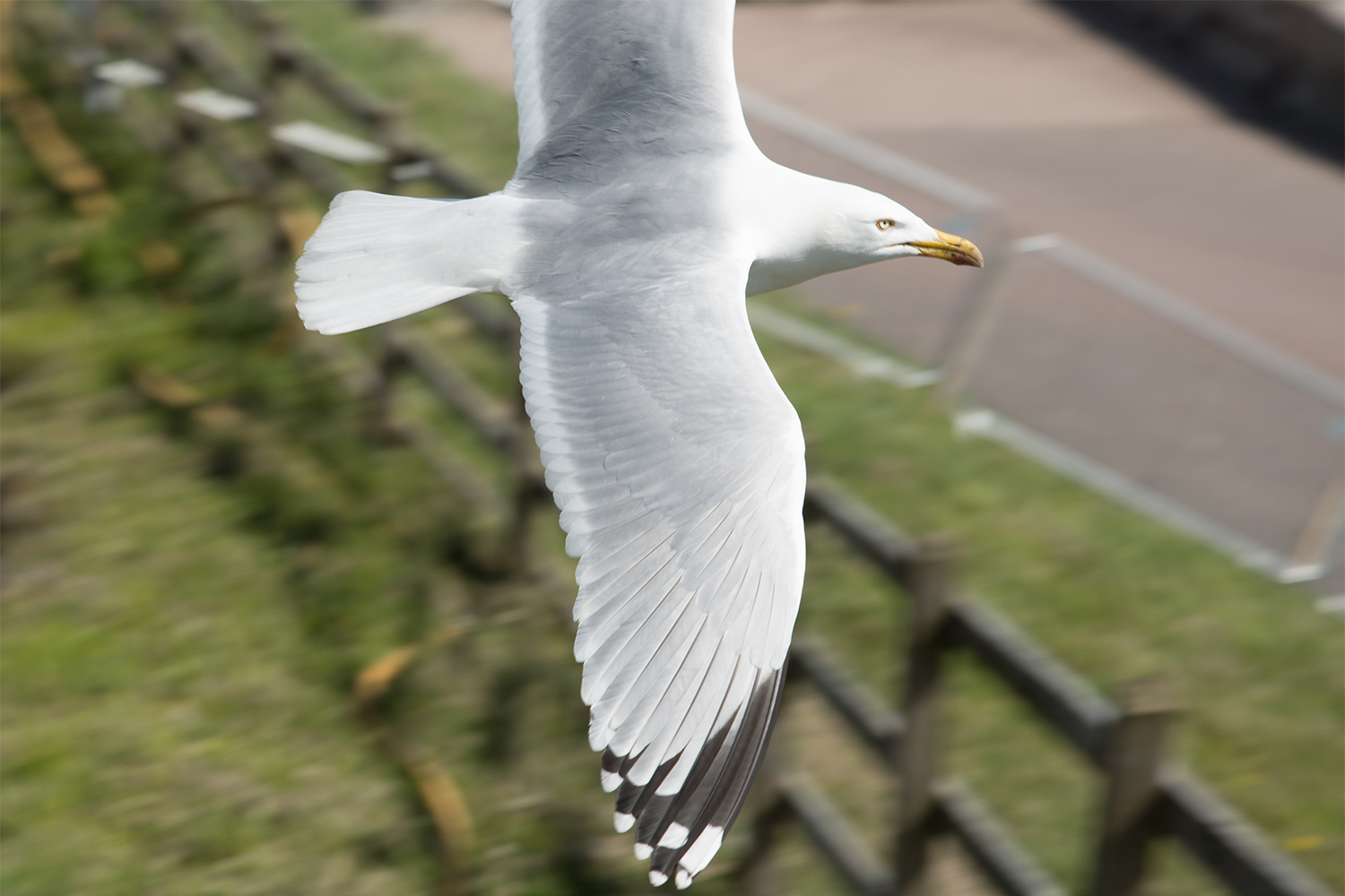 Abp Slider Image Herring Gull 1