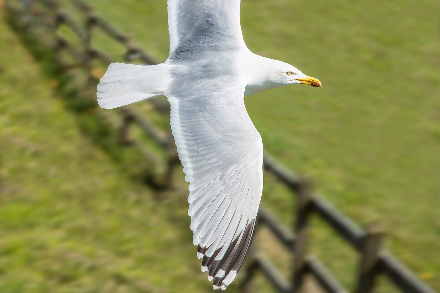Abp Slider Image Herring Gull 2