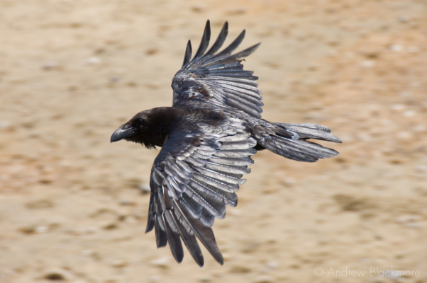 Raven-in-flight-from-Evans-Cliff-Charmouth-06_06_11