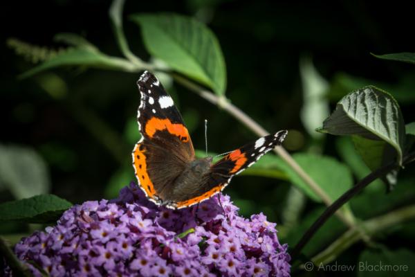 Red-Admiral-|-Vanessa-atalanta-on-Buddleia-in-Langmoor-Gardens,-Lyme-Regis-10_08_14-1