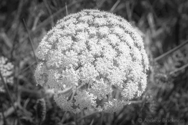 Sea-Carrot-flower-head-on-Evans-Cliff Charmouth-01_07_15-b&w