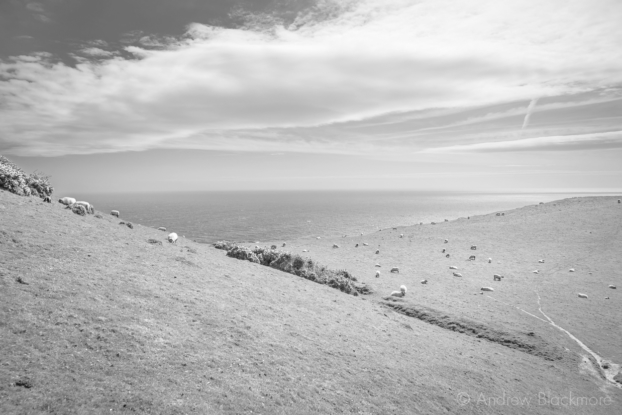 Sea-view-with-sheep-from-the-SW-Coast-Path-on-Doghouse-Hill-12_04_15-b&w
