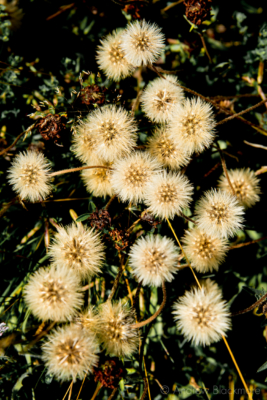 Seed-heads-on-Evans-Cliff Charmouth-17_07_13