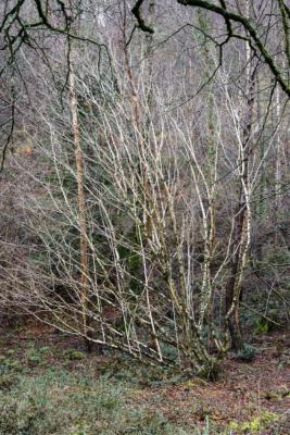 Silver-Birch-sappling-in-The-Spittles,-Lyme-Regis-31_01_16