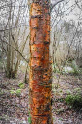 Silver-Birch-trunk-in-The-Spittles,-Lyme-Regis-31_01_16