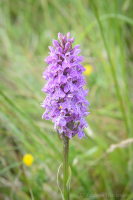Southern-Marsh-Orchid-The-Spittles,-Lyme-Regis-21_06_15-2