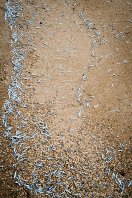 Sprats-washed-up-on-Hive-Beach Burton-Bradstock-15_08_14-3