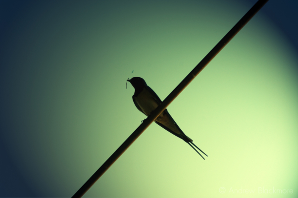 Swallow-(silhouette)-Charmouth-School-24_5_10-alt