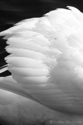 Swan-feathers-Charmouth-23_3_12