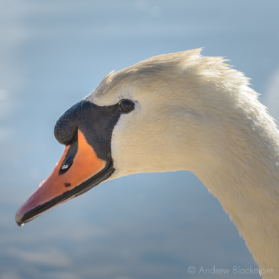 Swan-on-the-River-Char Charmouth-28_04_16-3-sq
