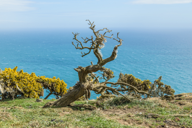 Twisted-Gorse-and-sea-from-the-SW-Coast-Path-below-Thorncombe-Beacon-12_04_15-2