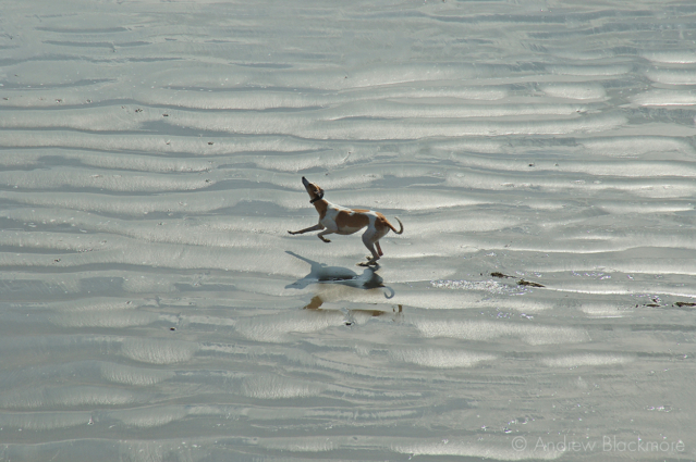 Whippet-on-Front-Beach,-Lyme-Regis-26_03_05