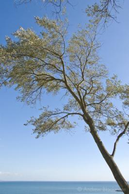 White-Poplar-and-sea-Lister-Gardens,-Lyme-Regis-04_10_07