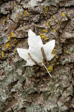 White-Poplar-leaf-on-trunk-Lister-Gardens,-Lyme-Regis-26_10_07