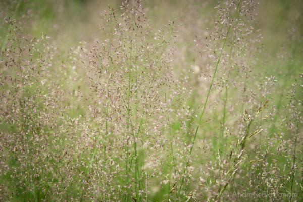 Yorkshire-Fog-(grass)-The-Spittles,-Lyme-Regis-11_07_14